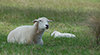 Contended_ewe_Kate_with_new_lamb