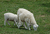 Ewe_and_lamb_spring_shedding_commences