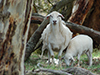 Prudence_with_10_week_old_ram_lamb