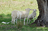 lamb_and_shedding_ewe